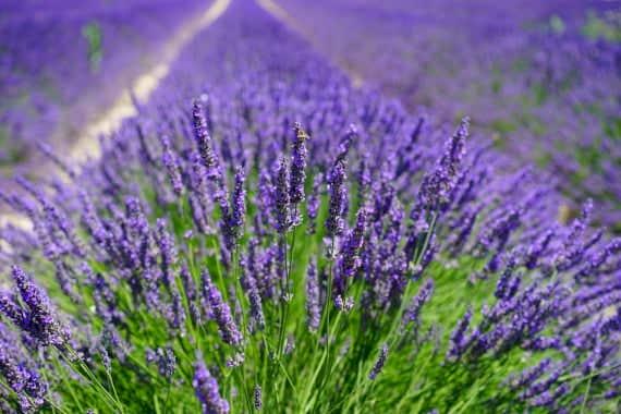 lavender-field-1595587_1920_pixabay.jpg